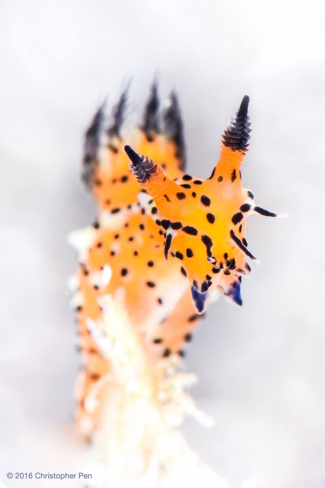 """Cheetos Tiger in White"" Polycera abei @ Lembeh Strait, North Sulawesi"